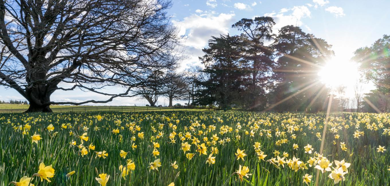 Image result for pics of paddocks of daffodils
