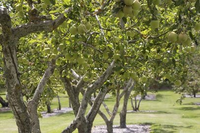 Orchard-Apples.jpg
